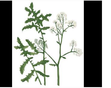 Crambe grandiflora DC. (C. pinnatifida auct. non W.T.Aiton, p.p.)