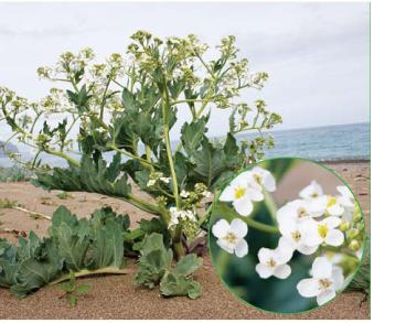 Катран морський (Crambe maritima L. (C. pontica Stev. ex Rupr., nom. nud.))