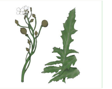 Катран пірчастонадрізаний (Crambe pinnatifida W.T.Aiton (C. maritima L. subsp. pinnatifida (W.T.Aiton) Schmalh., C. tataria Sebeόk var. pinnatifida (W.T.Aiton) O.E. Schulz))
