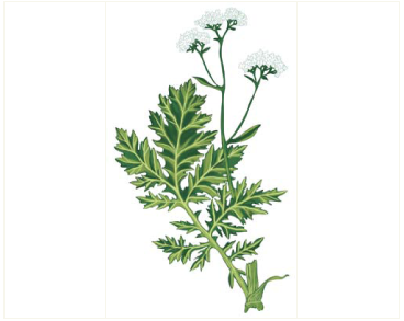 Crambe steveniana Rupr. (C. pinnatifida Steven non W.T. Aiton)