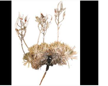 Крупка аїзоподібна (Draba aizoides L.)
