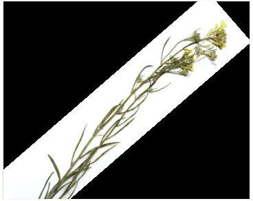 Желтушник крынкский (Erysimum krynkense Lavrenko)