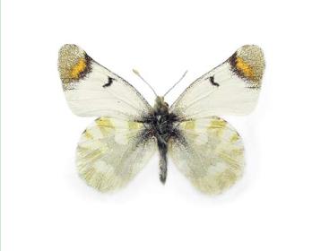 Зегрис желтонизый (Zegris eupheme (Esper, 1805))