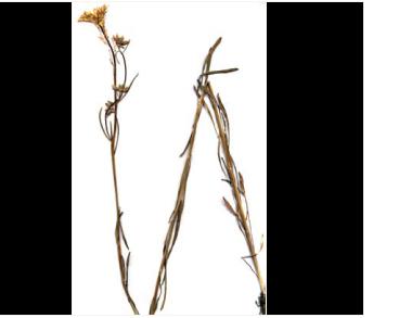 Жовтушник український (Erysimum ucranicum J. Gay. (E. cretaceum (Rupr.) Schmalh., Erysimastrum cretaceum Rupr.))