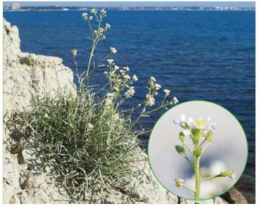 Lepidium turczaninowii Lipsky (L. meyeri Claus subsp. turczaninowii (Lipsky) Schmalh., L. lyratum L. subsp. lacerum (C.A.Mey.) Thell. var. turczaninowii (Lipsky) Thell.)