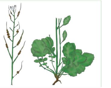 Raphanus maritimus Sm. s.l. (R. raphanistrum L. subsp. maritimus (Sm. ) Thell.; incl. R. odessanus (Andrz.) Spreng., R. raphanistrum L. subsp. odessanus (Andrz.) Schmalh., Raphanistrum odessanum Andrz.)