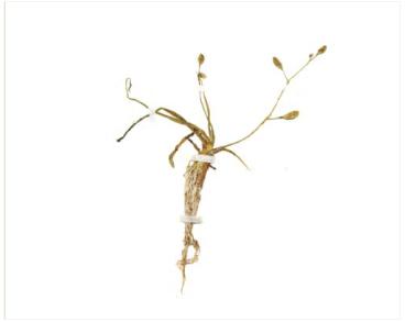 Шильница водная (Subularia aquatica L.)