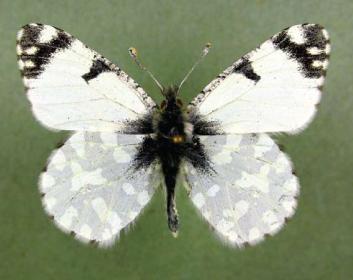 Аврора (зорька) белая (Euchloe ausonia (Hübner, [1804]))