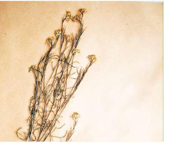 Жовтушниця Талієва (сиренія Талієва) (Syrenia talijevii Klokov)