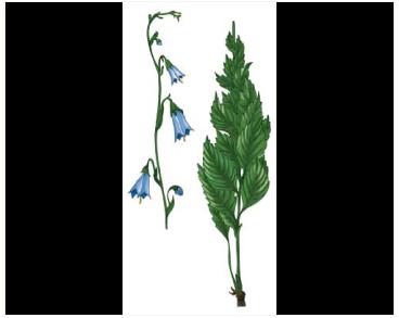 Adenophora taurica (Sukacz.) Juz. (A. lilifolia (L.) A.DC. subsp. taurica Sukacz.)