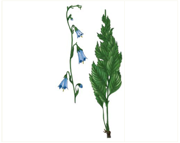 Дзвінка кримська (аденофора кримська) (Adenophora taurica (Sukacz.) Juz. (A. lilifolia (L.) A.DC. subsp. taurica Sukacz.))