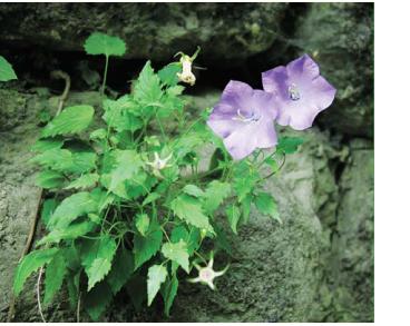 Дзвоники карпатські (Campanula carpatica Jacq. (C. reniformis Schur))