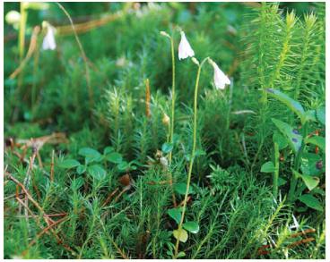 Ліннея північна (Linnaea borealis L.)