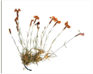 Гвоздика гренобльська (гвоздика граціанопольська) (Dianthus gratianopolitanus Vill. (D. caesius Smith))