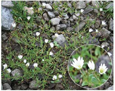 Роговиця роговикова (діходон роговиковий) (Dichodon cerastioides ((L.) Rchb. (Cerastium cerastoides (L.) Britt.))