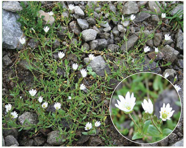 Диходон ясколковый, (Dichodon cerastioides ((L.) Rchb. (Cerastium cerastoides (L.) Britt.))