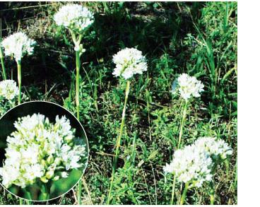 Эремогоне головчатая (Eremogone cephalotes (M. Bieb.) Fenzl (Arenaria cephalotes M. Bieb.))