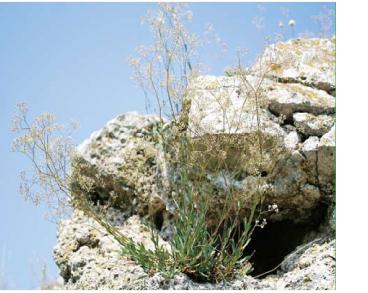 Качим днестровский (Gypsophila thyraica Krasnova (G. altissima auct. non L.))