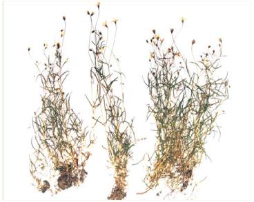 Сонценасінник таємний (Heliosperma arcanum Zapał. (Ixoca arcana (Zapał.) Ikonn.))