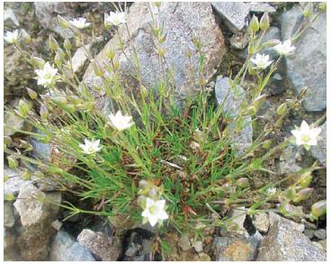 Minuartia oxypetala (Woł.) Kulcz. (Alsine oxypetala Woł., Minuartia verna (L.) Hier subsp. oxypetala (Woł.) Halliday)