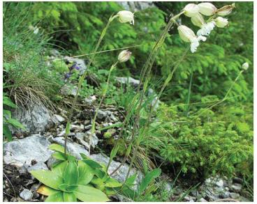 Смолевкоцветка (смолёвка) Завадского (Silenanthe zawadskii (Herbich) Griseb. et Schenk (Elisanthe zawadskii (Herbich) Klokov; Silene zawadskii Herbich))