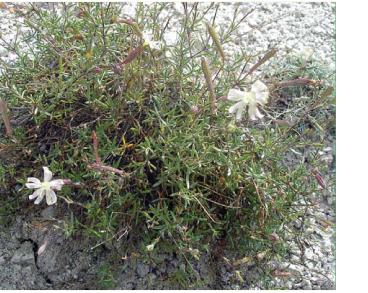 Смілка крейдова (Silene cretacea Fisch. ex Spreng.)