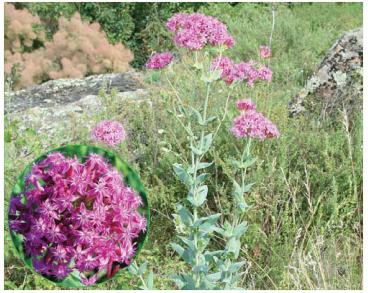 Смолёвка бугская (южнобугская) (Silene hypanica Klokov (Atocion hypanicum (Klokov) Tzvelev))