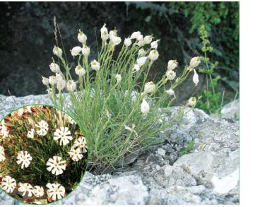 Смілка яйлинська (Silene jailensis N.I.Rubtzov (S. caryophylloides auct. non (Poir.) Otth))