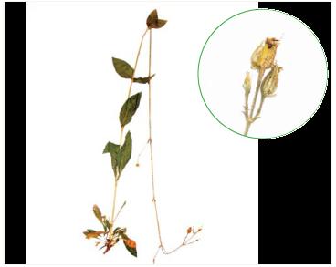 Смілка зеленоквіткова (Silene viridiflora L.)