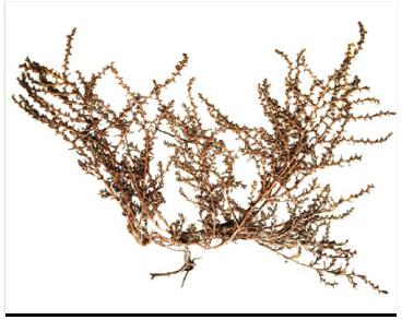 Курай туполистий (Salsola mutica C. A. Mey. (S. acutifolia (Bunge) Botsch.))