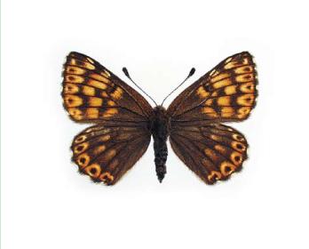 Люцина (Hamearis lucina (Linnaeus, 1758))