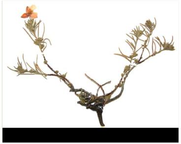 Fumanopsis laevis (Cav.) Tzvelev (Cistus thymifolius auct. non L.; Fumana thymifolia auct. non (L.) Spach ex Webb)
