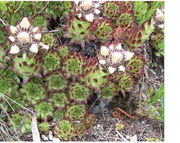 Борідник шерстистоволосистий (Jovibarba hirta (L.) Opiz (J. preissiana (Domin) Omelczuk et Czopik, J. hirta (L.) Opiz subsp. preissiana (Domin) Soó, Sempervivum hirtum L.))