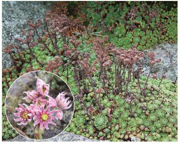Молодило гірське (Sempervivum montanum L. (incl. S. montanum L. subsp. carpaticum Wettst. ex Hayek, S. carpathicum Wettst. ex Prodan non G.Reuss))