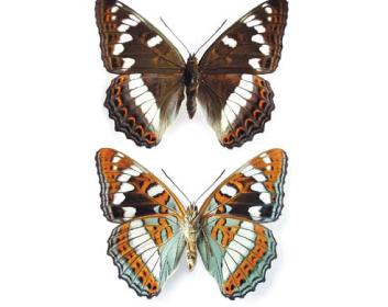 Ленточник тополевый (Limenitis populi (Linnaeus, 1758))