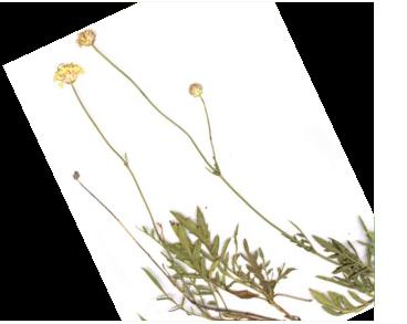 Головчатка Дмитрия (Cephalaria demetrii Bobrov)