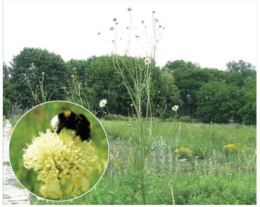 Головчатка Литвинова (Cephalaria litvinovii Bobrov)