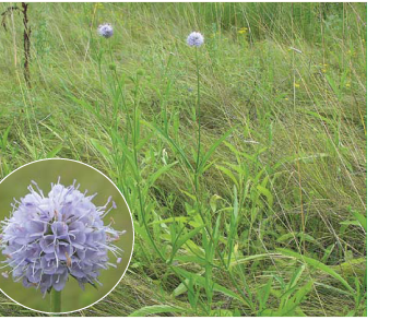 Сукцизелла изогнутая (сивчик изогнутый) (Succisella inflexa (Kluk) G. Beck)