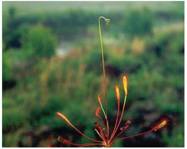 Росянка английская (длиннолистная) (Drosera anglica Huds. (D. longifolia L., nom. rej.))
