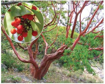 Суничник дрібноплодий (Arbutus andrachne L.)