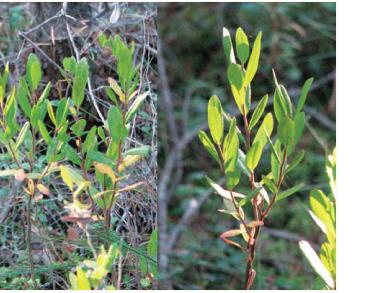 Chamaedaphne calyculata (L.) Moench (Andromeda calyculata L., Lyonia calyculata (L.) Rchb.)