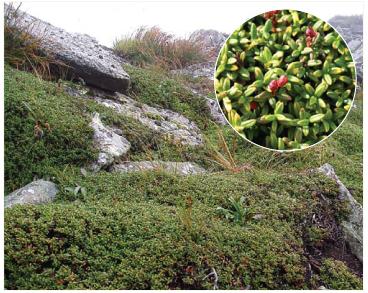 Наскельниця лежача (Loiseleuria procumbens (L.) Desv. (Azalea procumbens L., Chamaecistus procumbens (L.) Kuntze))