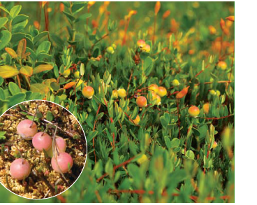 Журавлина дрібноплода (Oxycoccus microcarpus Turcz. ex Rupr. (O. quadripetalus Gilib. subsp. microcarpus (Turcz. ex Rupr.) Braun-Blanq., O. palustris Pers. subsp. microcarpus (Turcz. ex Rupr.) Nyman, Vaccinium microcarpum (Turcz. ex Rupr.) Schmalh., V. oxycoccus L. subsp. micro)