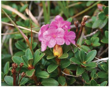 Рододендрон східнокарпатський (рододендрон миртолистий) (Rhododendron myrtifolium Schott et Kotschy (R. kotschyi Simonk.))
