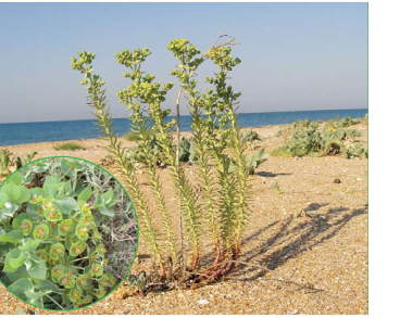 Молочай прибережний (Euphorbia paralias L. (Esula paralias (L.) Fourr., Tithymalus paralias (L.) Hill))