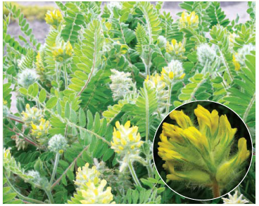 Астрагал шерстистоцветковый (Astragalus dasyanthus Pall.)
