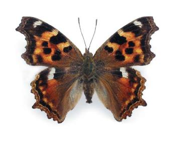 Ванеса фау-белое (Nymphalis vaualbum  ([Denis & Schifermüller], 1775))
