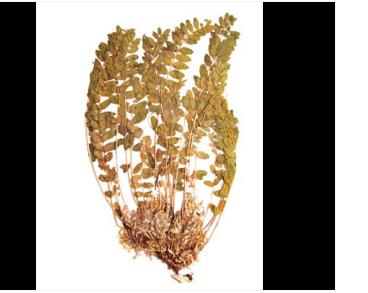 Астрагал безстрілковий (Astragalus exscapus L.)