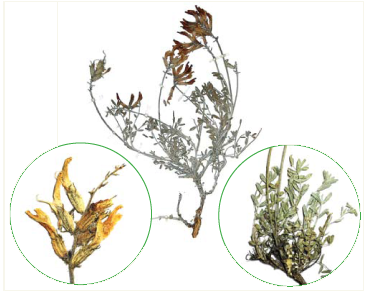 Астрагал сизий (Astragalus glaucus M.Bieb. (A. dealbatus Pall., A. tarchankuticus Boriss.))