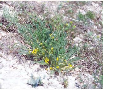 Астрагал Геннінга (Astragalus henningii (Steven) Boriss. (incl. A. novoascanicus Klokov, A. buchtormensis auct. non Pall.))